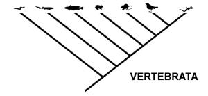 Cladogram of vertebrata